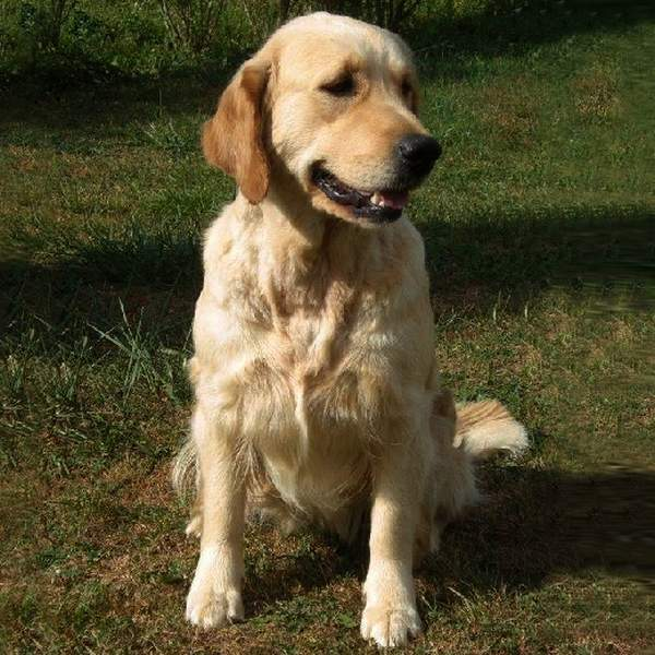 Word Of Feather Easy bel - Golden Retriever