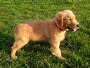 Procédure d'achat / adoption d'un chiot Golden Retriever à l'élevage de l'étoile sacréeAchat Adoption Chiot Godden Retriever Une