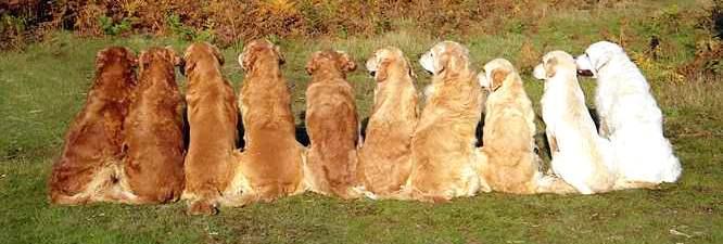 les différentes couleurs du Golden Retriever
