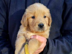 Education Chiot Gloden Retriever