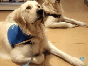 Golden Retriever Association Handi'Chiens