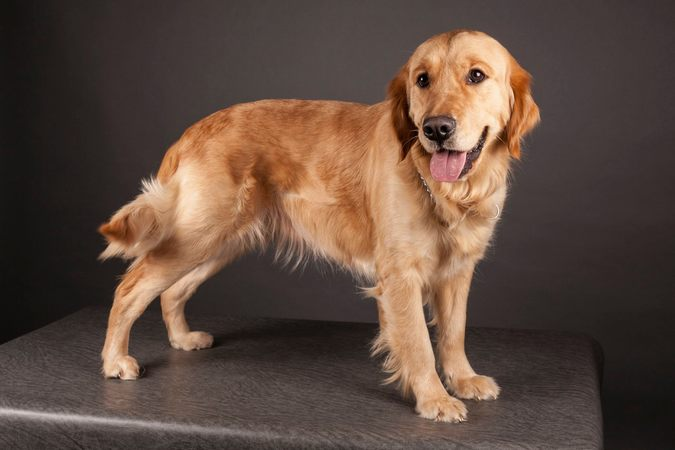 Hatena Word Of Feather - Lice Golden Retriever LOF