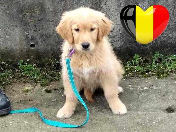 Regles d'adoption d'un chiot Golden Retriever au départ pour la Belgique