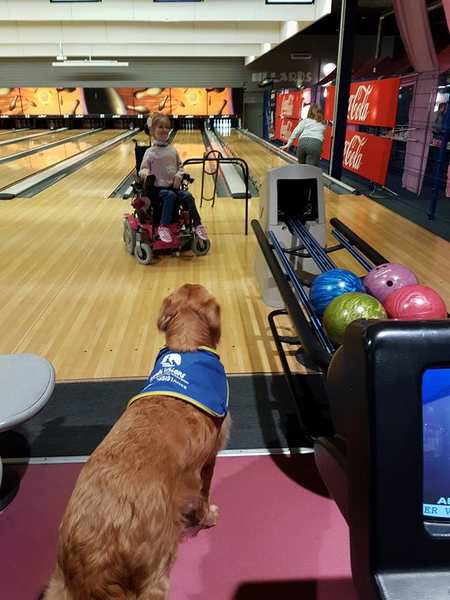 Golden Retriever Chien Assistance Au Bowling 2